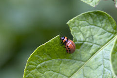 Бич жука Стоковая Фотография RF