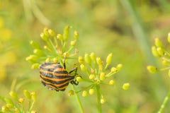 Бич обрабатывая землю жук Колорадо на зеленой предпосылке стоковое изображение rf