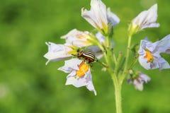 Бич сада striped ползания жука Колорадо в цвете на y Стоковое Фото
