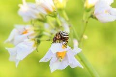 Бич сада striped ползания жука Колорадо в цвете на yo Стоковая Фотография
