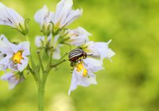 Бич сада striped ползания жука Колорадо в цвете o Стоковое Фото