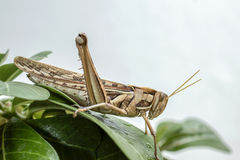 Бич саранчи стоковая фотография rf