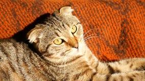 Благородный гордый кот лежа дальше на кресле Великобританское Shorthair с мехом голубого серого цвета понизило уши акции видеоматериалы