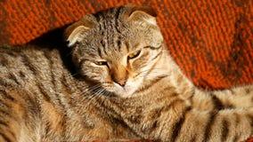 Благородный гордый кот лежа дальше на кресле Великобританское Shorthair с мехом голубого серого цвета понизило любимчика ушей видеоматериал