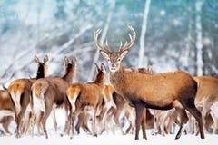 Благородный олень с женщинами в табуне на фоне ландшафта зимы красивого леса снега зимы художнического Стоковое Фото