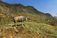 Благоустраивайте взгляд полей риса Sapa окруженных горами, Вьетнам Стоковые Изображения RF