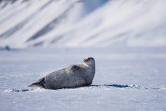 Благоустраивайте уплотнение природы на ледяном поле неба дня солнечности ледовитой зимы Шпицбергена Longyearbyen Свальбарда припо Стоковое Фото