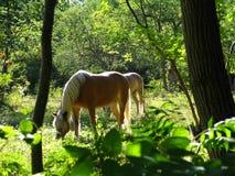 блаженно пасущ Стоковые Фото