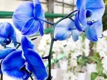 Бледное - цветок голубой орхидеи в тропическом саде, весеннем дне для p Стоковые Изображения