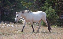 Бледный жеребец дикой лошади серовато-коричневого цвета абрикоса лосиной кожи в ряде дикой лошади гор Pryor в Монтане США Стоковые Фотографии RF