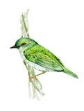 Бледн-legged Warbler листьев Стоковая Фотография RF