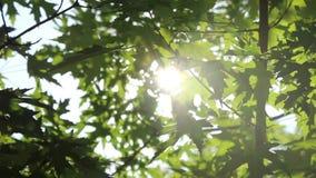 Блески солнечного света через зеленую листву дерева клена HD 1920 видеоматериал