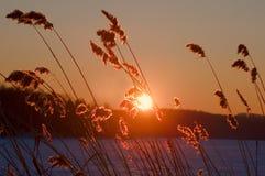 Блески солнца через тростники стоковая фотография
