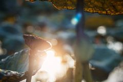 Блески Солнця с умирать лотоса Стоковые Изображения