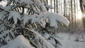 Блеск Солнця через снег покрыл ветви сосны Пирофакел объектива движение ровное зима белизны снежинок предпосылки голубая акции видеоматериалы