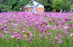 Блеск цветков bipinnatus космоса в цветочном саде Стоковая Фотография RF
