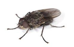 близкая весьма дом мухы изолированная вверх по белизне Стоковое Изображение