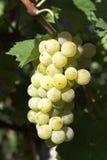 близкая виноградина группы вверх Стоковые Фотографии RF
