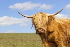 близкая гористая местность коровы вверх Стоковое Фото