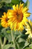 Близкая деталь солнцецвета карлика Стоковое фото RF