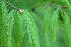 близкая зеленая сосенка игл вверх Стоковые Изображения RF