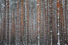 близкая зима взгляда вала сосенки пущи Стоковая Фотография