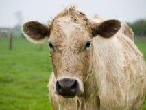 близкая корова вверх Стоковое Изображение RF