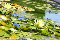 близкая лилия вверх по воде взгляда стоковая фотография