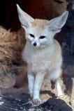 близкая лисица fennec вверх Стоковое Фото