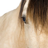 близкая лошадь вверх Стоковые Изображения