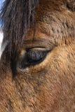 близкая лошадь глаза вверх Стоковые Изображения RF