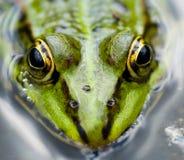 близкая лягушка вверх Стоковые Изображения