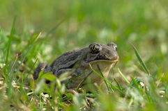 близкая общяя жаба вверх Стоковые Изображения