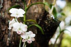 близкая орхидея вверх по белизне Стоковое фото RF