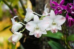 близкая орхидея вверх по белизне Стоковая Фотография RF