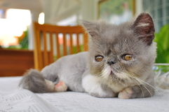 близкая персиянка котенка вверх Стоковое Фото