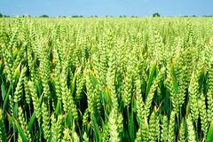 близкая перспектива ушей вверх по пшенице Стоковые Фото