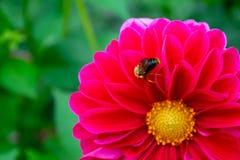 Близкая поднимающая вверх пчела на красном copyspace dabhlia стоковые фотографии rf