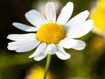 Близкая поднимающая вверх съемка головы цветка стоцвета в солнечном свете стоковые фото