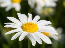 Близкая поднимающая вверх съемка головы цветка стоцвета в солнечном свете стоковое изображение