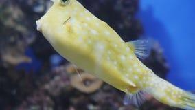 Близкая поднимающая вверх съемка желтых смешных рыб около кораллов в аквариуме Животные и концепция природы сток-видео