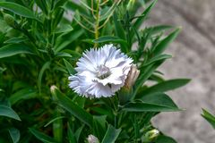 Близкая поднимающая вверх съемка зацветая белого цветка гвоздики цве стоковая фотография rf