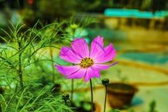 Близкая поднимающая вверх съемка розового цветка космоса с запачканной зеленой предпосылкой стоковые фото