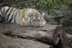 Близкая поднимающая вверх съемка сибирского молодого котенка стоковые изображения