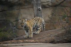 Близкая поднимающая вверх съемка сибирского молодого тигра стоковое фото