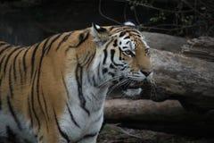 Близкая поднимающая вверх съемка сибирского tigress стоковые фото