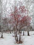 близкая рябина вверх по зиме Стоковые Изображения RF