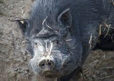 близкая свинья вверх по вьетнамцу стоковое фото rf