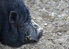 близкая свинья вверх по вьетнамцу стоковая фотография
