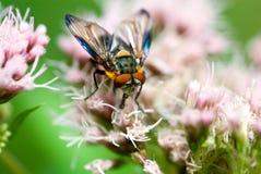 близкая цветастая муха вверх Стоковое фото RF